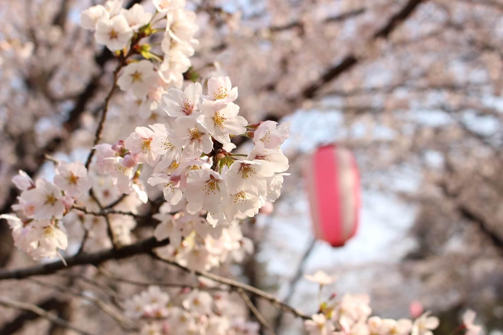 キレイに桜が咲き始めて、そろそろ満開が待ち遠しい