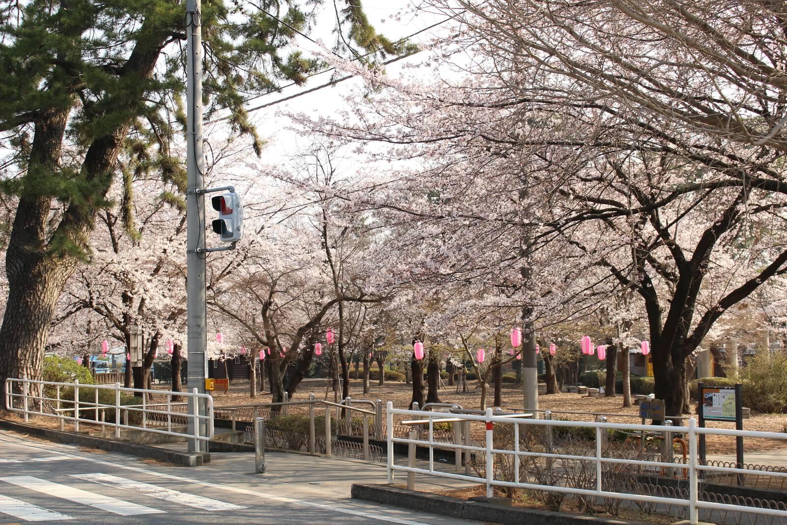 華蔵寺公園南側のステージ裏は結構キレイに咲いていました
