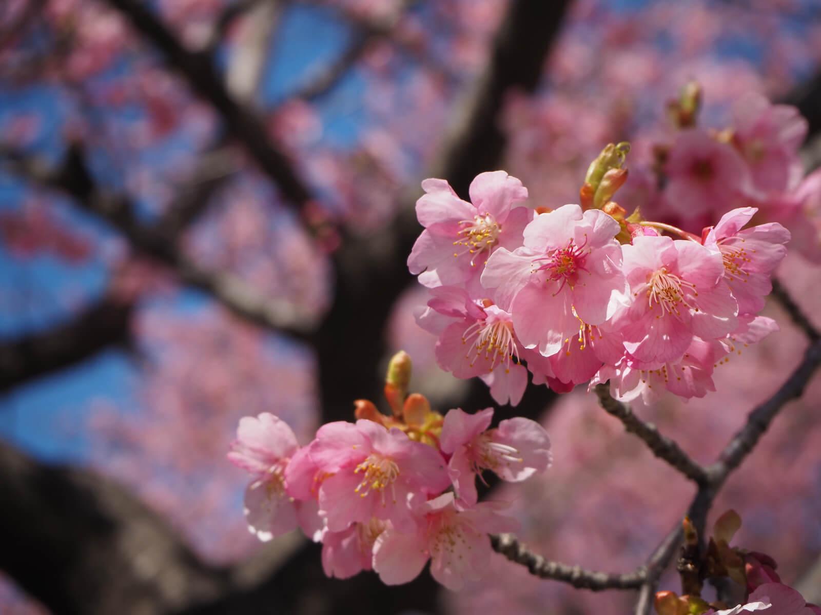いせさき市民の森公園の河津桜が見頃!お花見シーズンが待ち遠しい