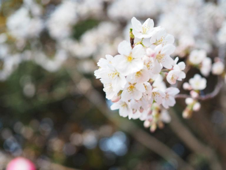 華蔵寺公園の桜が開花!見頃はもうすぐ夜桜が待ち遠しい! 〜 2018年