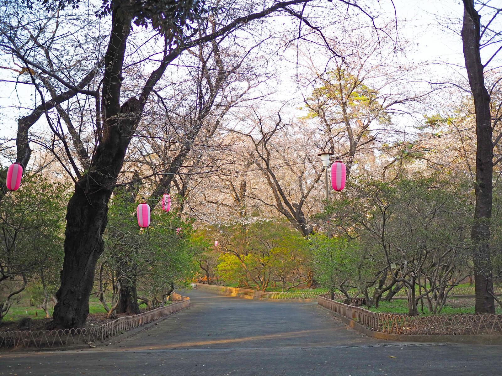まだ桜の花はちらほら。これからたくさん咲いてくるのが楽しみ