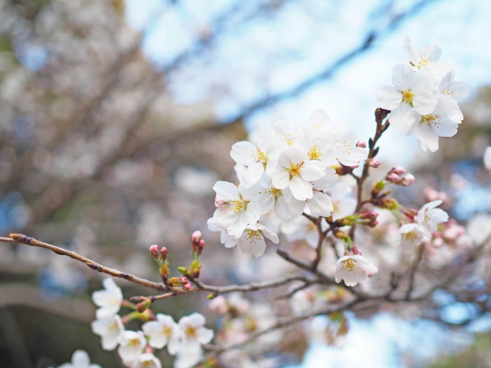 白いソメイヨシノの花びらをみるとまさに春を感じます