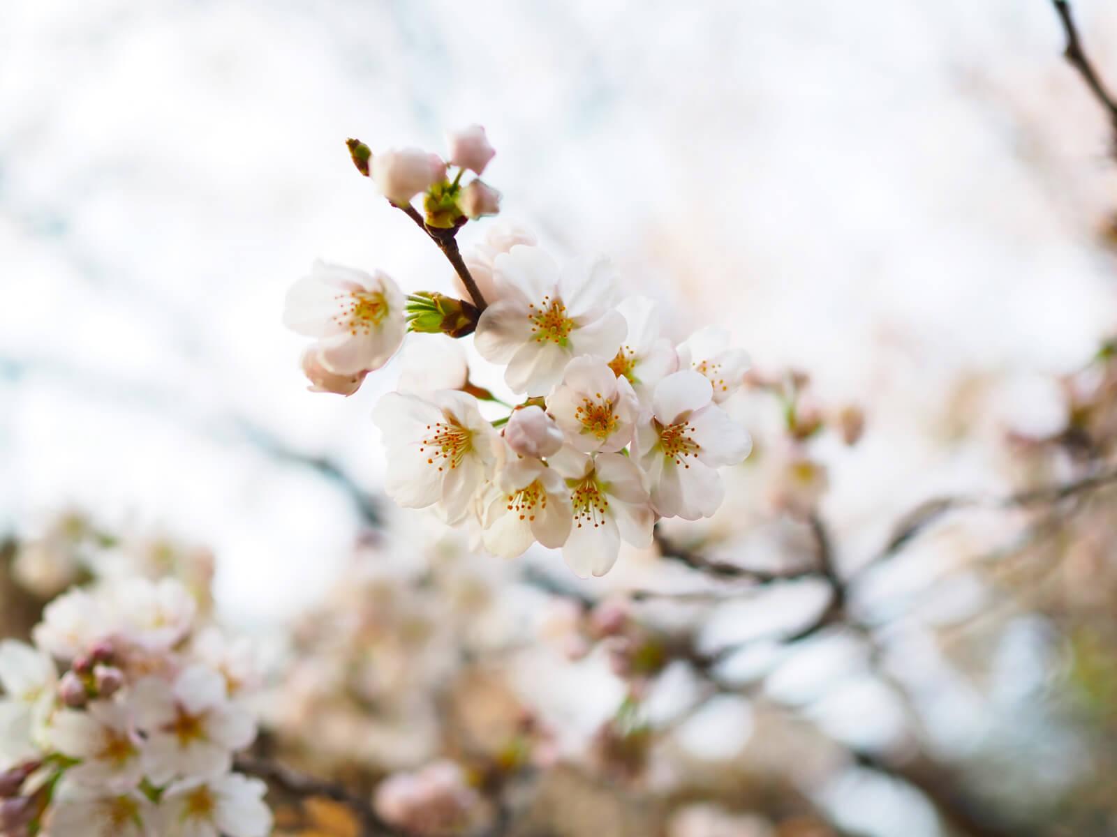 まだ蕾な桜とキレイに花開いた桜
