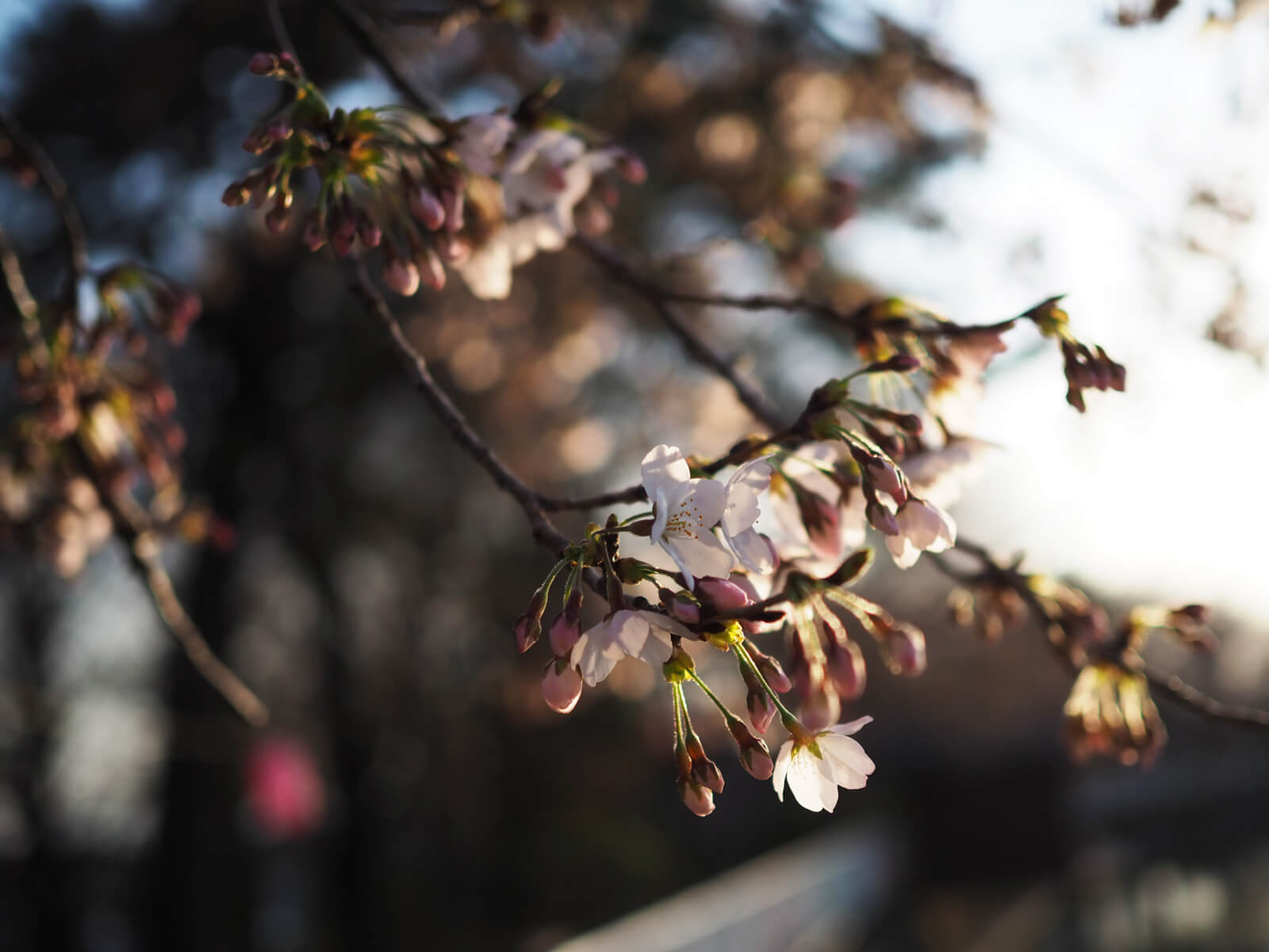 夕日と桜2