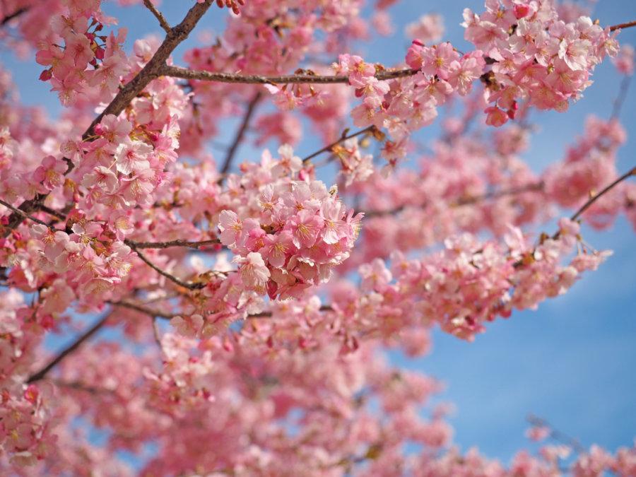 【2020年】いせさき市民の森公園の河津桜がいよいよ見頃!週末お出かけしてみよう!