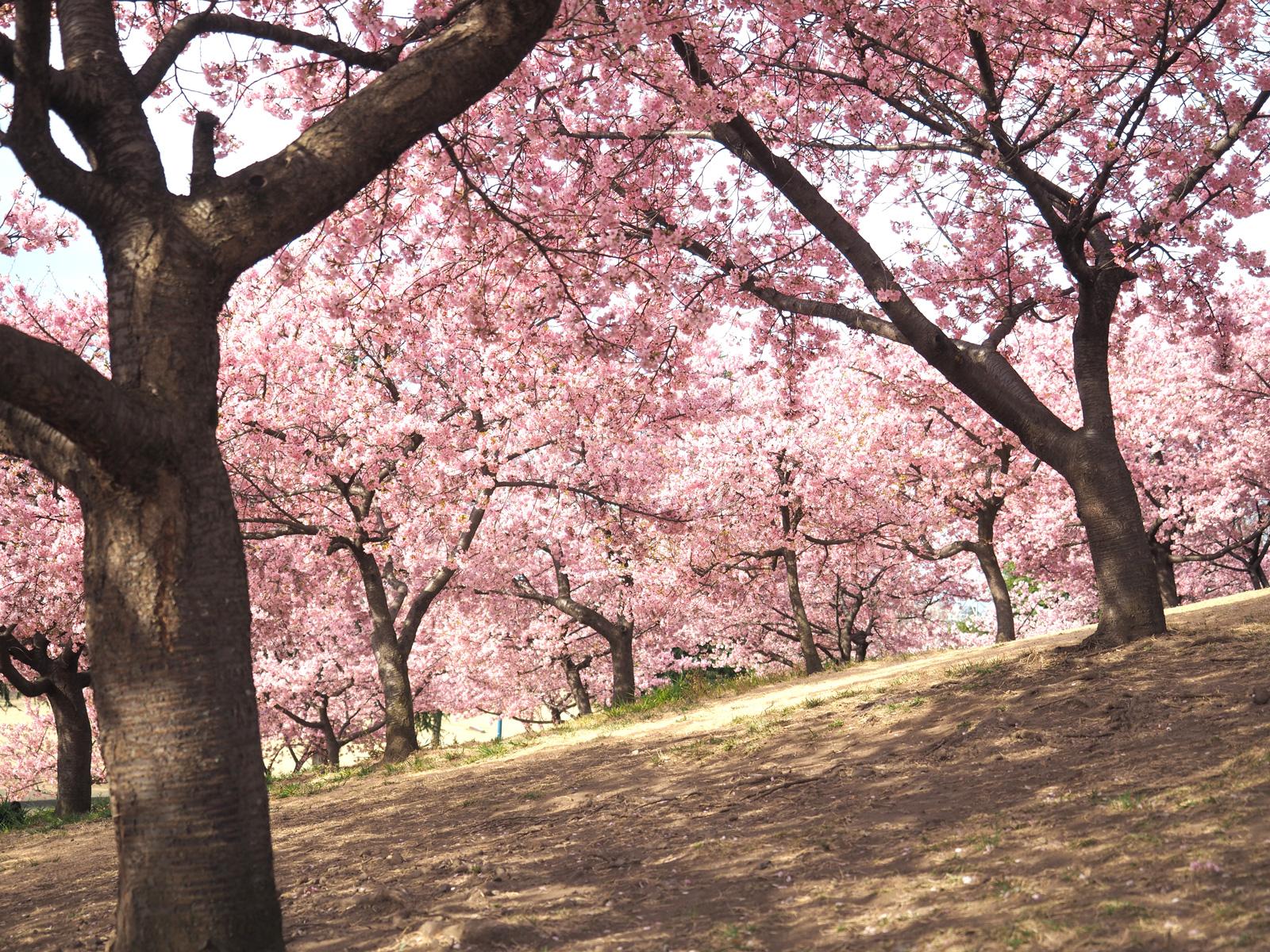 いせさき市民の森の山に登ればまるで桜並木