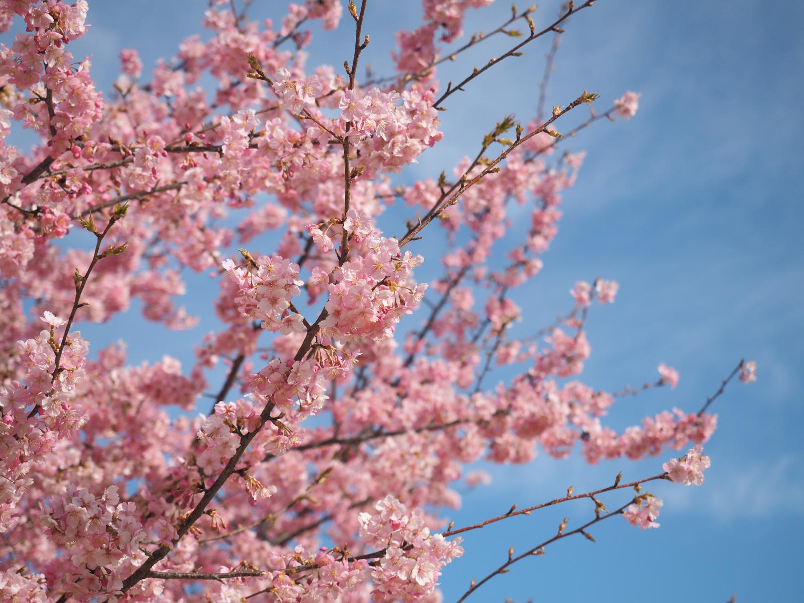 いせさき市民の森の河津桜